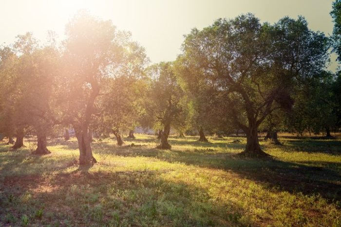 Early morning sunbeams in olive plantation in South Italy, Puglia